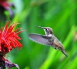 hummingbird-pollen-on-beak-head_49938[1].jpg